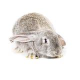 Cute grey rabbit Royalty Free Stock Photo