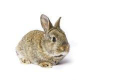 Cute grey rabbit Royalty Free Stock Photography