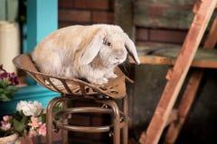 Cute grey rabbit sitting. Indoor in studio Stock Photos