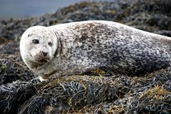 Cute Grey Seal. Stock Photography