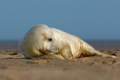 Cute grey seal pup. A baby grey seal at Donna Nook Linconshire Stock Images