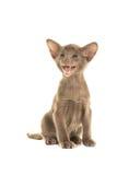 Cute grey siamese baby cat Royalty Free Stock Photo