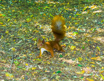 Cute grey squirrel eating in the park. Cute red animal squirrel sitting on a branch of nature forests. An amazing picture of beautiful sunny animal proteins Stock Photography