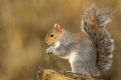 A cute Grey Squirrel Scirius carolinensis eating a nut sitting on a log. Royalty Free Stock Photography