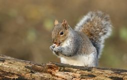 A cute Grey Squirrel Scirius carolinensis eating a nut sitting on a log. Royalty Free Stock Images