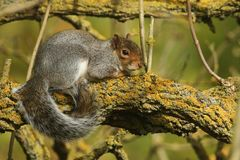 A Grey Squirrel Scirius carolinensis resting up a tree enjoying the sun. Stock Photography