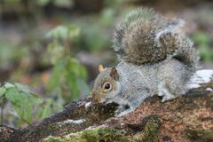 A cute Grey Squirrel Scirius carolinensis searching for food in an old log. Royalty Free Stock Image