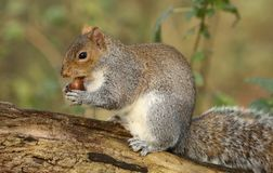A cute Grey Squirrel Scirius carolinensis  sitting on a log holding an acorn. Stock Photo