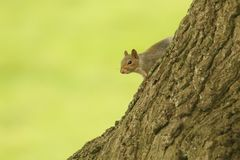 A cute Grey Squirrel Scirius carolinensis sitting on the side of a tree trunk. Stock Photos