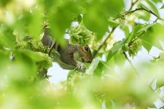 A cute Grey Squirrel Sciurus carolinensis feeding on the seeds of the Wych Elm Ulmus glabra. Stock Images