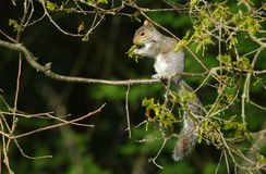 A cute Grey Squirrel Sciurus carolinensis sitting on the branch of an Oak Tree eating the new leaves . Royalty Free Stock Image