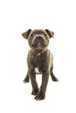 Cute grey stafford terrier puppy dog head up smiling facing the camera Stock Photos