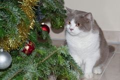 Cat looking at the decorations on a Christmas tree. Cute grey tabby cat looking at the decorations on a Christmas tree royalty free stock images