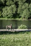Cute grey Thai Ridgeback dog walk around the lake royalty free stock photography