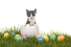 Cute grey and white baby cat kitten in a white egg on grass with colored easter eggs Royalty Free Stock Image