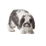 Cute Grey and White Bunny Rabbit Facing Forward Stock Photo