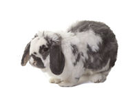 Cute Grey and White Bunny Rabbit Facing Left Royalty Free Stock Photos
