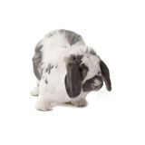 Cute Grey and White Bunny Rabbit Facing Right Royalty Free Stock Images