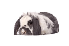 Cute Grey and White Bunny Rabbit Lying Down. Cute Grey and White Lop Eared Bunny Rabbit Lying Down Resting On White Background Stock Photos