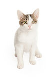 Cute Grey and White Kitten Royalty Free Stock Photography