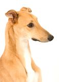 Cute Greyhound. A tan greyhound profile against a white background stock photos