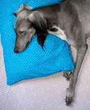 cute greyhound sleeping on a blue pillow stock image