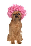 Cute griffon dog with pink curly wig. Isolated on white background Stock Images