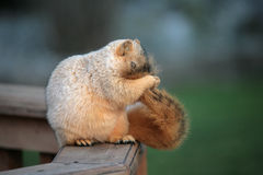 Cute Grooming Squirrel Stock Photos