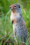 Cute ground squirrel. In Banff national park, Canada royalty free stock photography