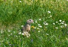 Cute ground squirrel on fresh flower meadow Stock Photo