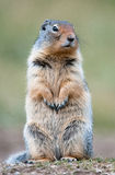 Cute ground squirrel P. Cute ground squirrel in Banff national park, Canada royalty free stock photography
