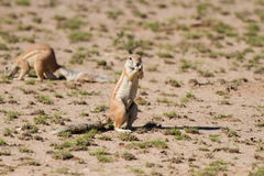 Cute ground squirrel searching for food in desert Stock Photography