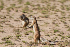 Cute ground squirrel searching for food in dry Kgalagadi desert Royalty Free Stock Photography