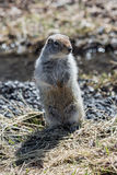 Cute ground squirrel standing on hind legs. Russia, Kamchatka Peninsula royalty free stock photo