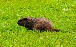 Cute groundhog in my backyard. In Michigan stock images