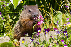 Cute groundhog royalty free stock photography
