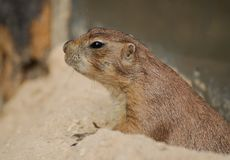 Cute Groundhog portrait. Alicante, Spain - July 24 2012: Portrait of a cute Groundhog rodent stock images