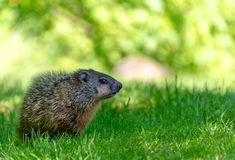 A cute groundhog in summer grass. A young groundhog marmota monax, also called a woodchuck in grass with out of focus green background space stock images