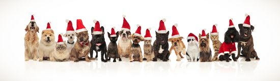 Cute group of christmas cats and dogs of different breeds. Sitting and standing on white background and panting royalty free stock image