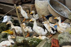 Group of ducklings on Vietnamese farm Stock Images