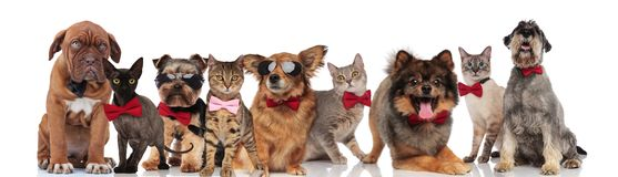 Cute group of elegant cats and dogs with bowties. Standing, sitting and lying on white background royalty free stock images