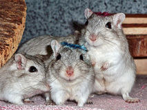 Cute group of gerbils. Group of gerbils. Gerbil mice are popular pets Stock Photography