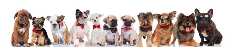 Cute group of happy dogs wearing sunglasses and bowties royalty free stock photos