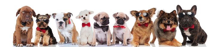 Cute group of many adorable dogs wearing bowties. Standing, sitting and lying on white background Stock Photo