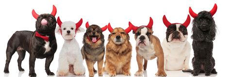 Cute group of seven dogs wearing devil horns. While standing and sitting on white background Stock Photo