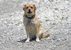 Cute Guard Dog. This Cute Guard Dog sitting and posing captured in Danville,Indiana Stock Images