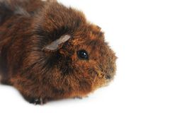 Cute guinea pig Stock Photo