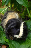 A cute guinea pig /. In the garden Stock Photography