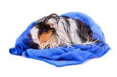 Cute guinea pig Stock Image