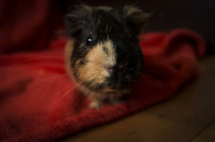 Cute guinea pig with blur background Royalty Free Stock Photo